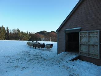 Sauene i snøen